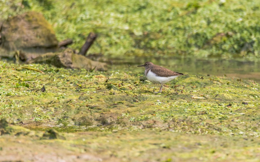 Common sandpiper Prior Park Gardens, 8 May 2017