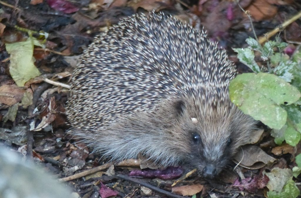 Hedgehog, 29 July 2016