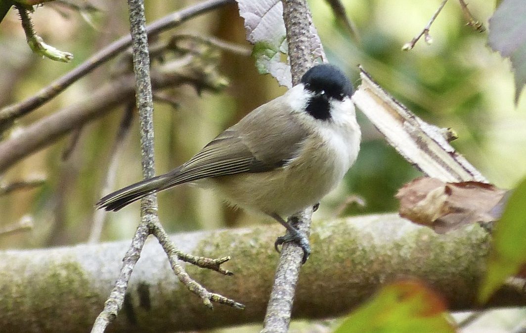 Willow Tit, 27 March 2016