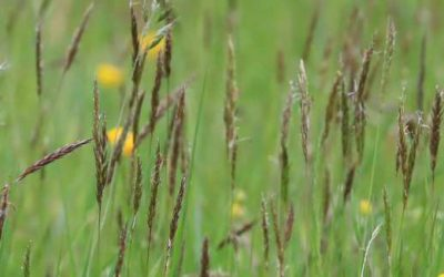 Lansdown and Charlcombe species-rich meadows and pastures, 16 May 2021